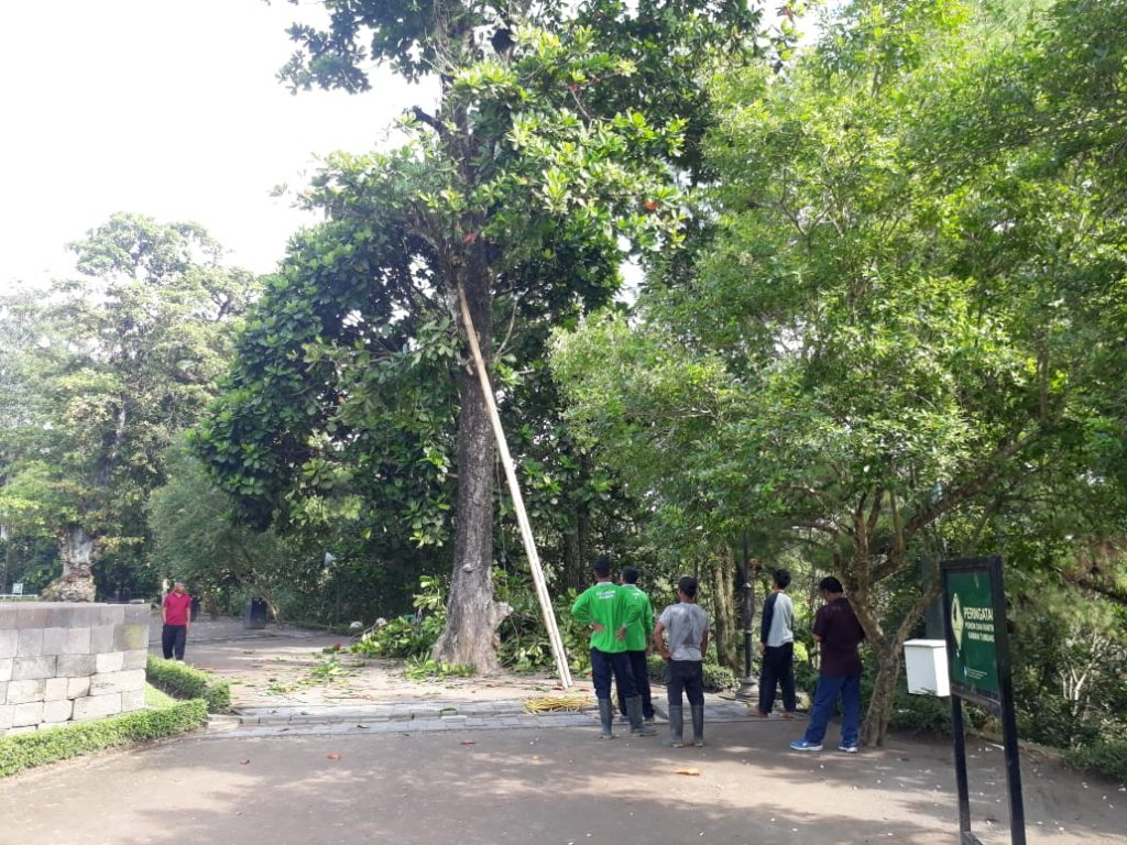 Petugas pertamanan memangkas pohon ketapang