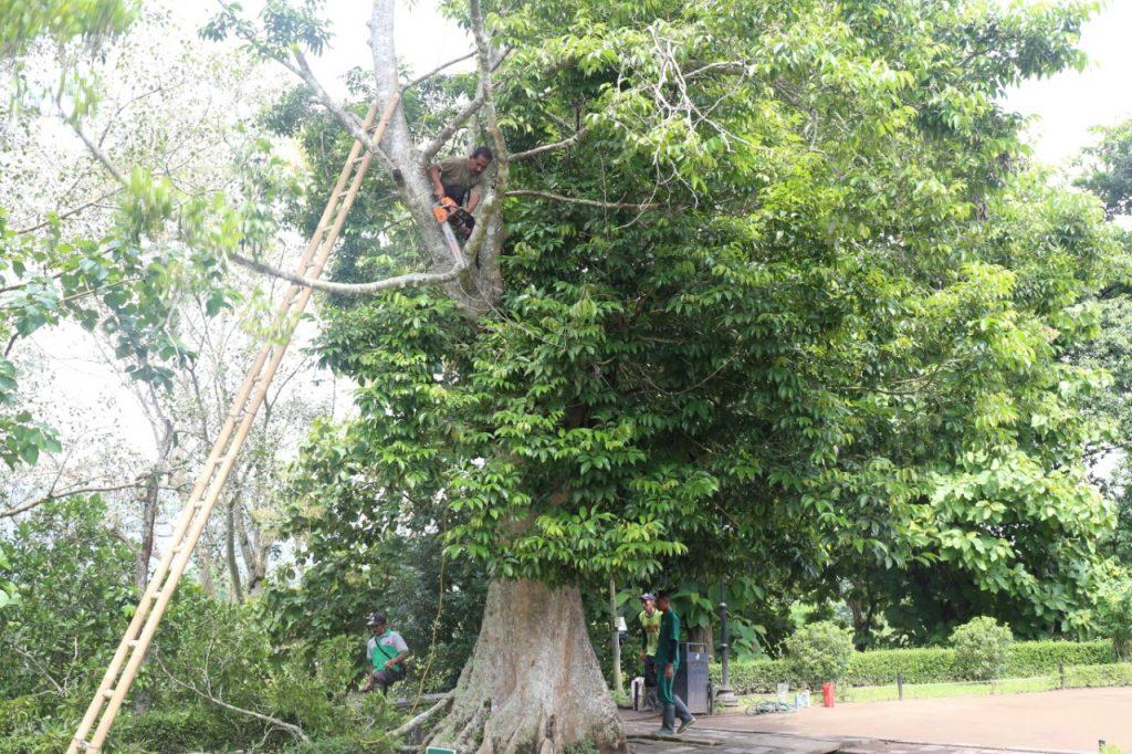 Pemangkasan pohon kenari sisi barat daya halaman Candi Borobudur