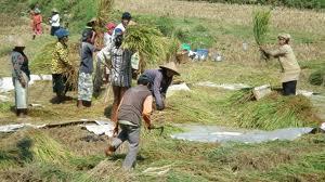 """Batobo, """"Arisan Tani"""" dari Riau - Balai Pelestarian Nilai Budaya Kepulauan  Riau"""
