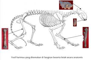 Fosil haramau di situs sangiran