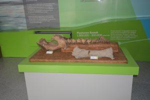 Fosil Binatang Bovidae