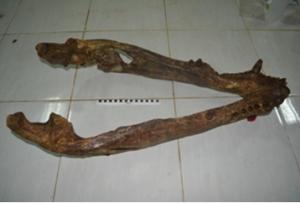 Fosil rahang bawah Crocodylus sp.