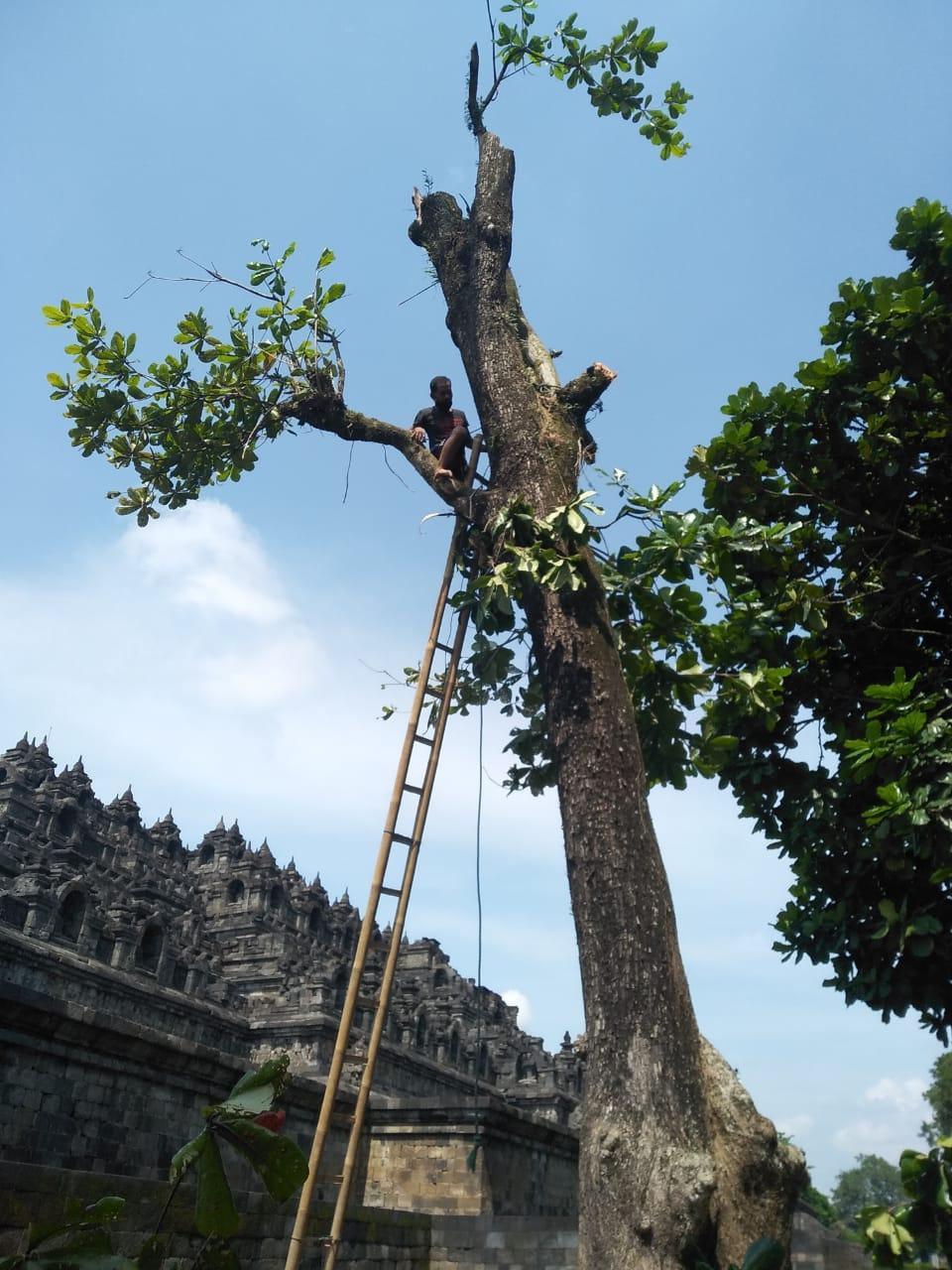 Pemangkasan pohon ketapang halaman sisi timur laut Candi Borobudur